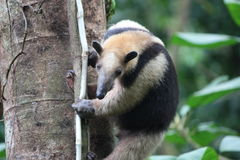 Anteater on tree. An anteater hangs from the side of a tree in the Costa Rica rainforest royalty free stock photos