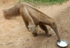 Anteater tropicale Immagine Stock