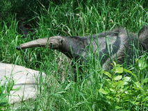Anteater w muśnięciu Obraz Royalty Free