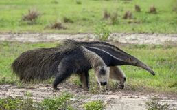 Anteater Walking on the Nature in Pantanal, Brazil royalty free stock images