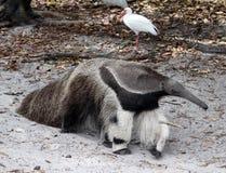 An anteater walks through sand stock images