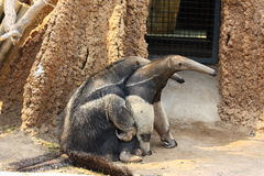 Anteaters mating Royalty Free Stock Images