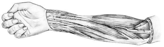 Antebrazo - músculos y tendones Fotos de archivo libres de regalías
