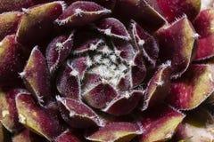 Antecedentes abstractos: Flor del Succulent del primer Fotos de archivo