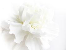 Antecedentes de flor blanca Foto de archivo libre de regalías
