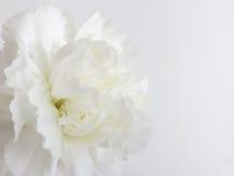 Antecedentes de flor blanca Imagen de archivo