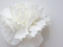 Antecedentes de flor blanca Fotografía de archivo libre de regalías