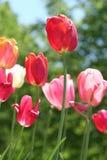 Antecedentes de la flor del verano: Tulipanes Foto de archivo