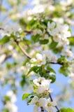 Antecedentes: flores del manzano Imagen de archivo