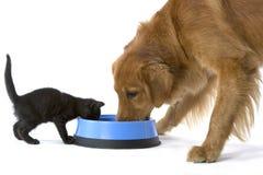 Anteilnahrung des Kätzchens und des goldenen Apportierhunds Lizenzfreie Stockfotos