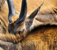 Antelope. Of antelope, looking out from behind the backs of other antelope stock photos