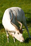 Antelope. Addax antelope standing on grass Stock Image