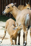 Antelope. Baby of an  antelope  suckling its mother Royalty Free Stock Image