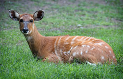 Antelope. Young Bohor Reedbuck antelope in the wild Stock Images