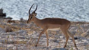 Antelope. African antelope in free nature in africa Stock Photos