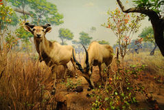 Antelope. Giant Eland, a type of antelope on display at the American Museum of Natural History in New York City Stock Photos