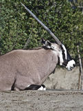 Antelope. Detail of large horned Oryx sitting Royalty Free Stock Images