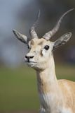 Antelope Royalty Free Stock Photography