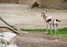 Antelope. An antelope turning back to look towards the camera at the zoo Stock Photos