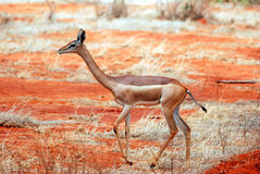 Antelope. An antelope in the Tsavo-ost national park Royalty Free Stock Photography