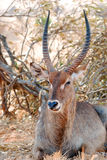 Antelope. An antelope in the Tsavo-ost national park Royalty Free Stock Image