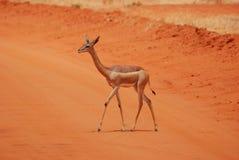 Antelope. An antelope in the Tsavo-ost national park Stock Image