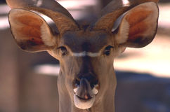 Antelope. With Tongue Sticking Out Stock Images