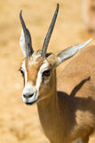 Antelope. African antelope in a zoo Stock Image