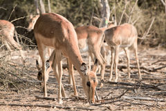 Antelope. In the national park namibia Stock Image