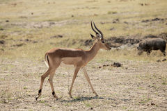 Antelope. In the national park namibia Stock Images