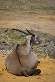 Antelope. African antelope sitting on the ground stock photos