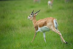 Antelope. Single Antelope running in a grassy field Stock Image