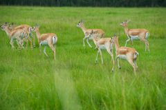 Antelope. Herd of female African Antelope in grassy field Royalty Free Stock Images