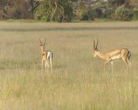 Free Antelope Stock Image - 36284981