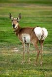 Antelope. Walking on a grass Stock Photos