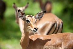 Antelope1 Στοκ Εικόνες