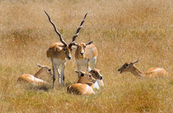 Antelope Royalty Free Stock Photo