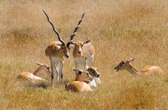 Antelope. African Antelope royalty free stock photo