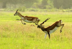 An antelope accident Royalty Free Stock Photography