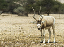 The antelope addax Royalty Free Stock Photo