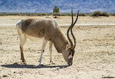 The antelope addax in Israeli nature reserve Royalty Free Stock Images