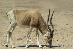 The antelope addax in Israeli nature reserve Stock Photos