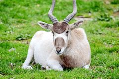 Antelope Addax Nasomaculatus Resting on Grass royalty free stock photos