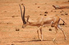 Antelope in Africa stock images