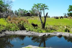 Antelope. Africa Water Grass Trees Florida Disney Animal Kingdom Stock Photography