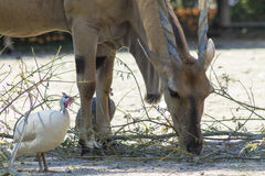 Antelope and african birds Stock Photography