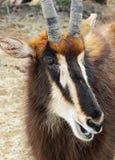 Antelope Stock Photography