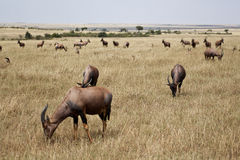 Antelope African  in Kenya Stock Photography