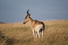 Antelope African in Kenya Royalty Free Stock Photography