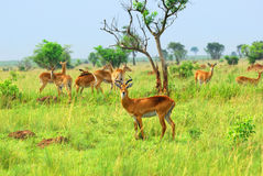 Antelope in the african savannah Stock Images